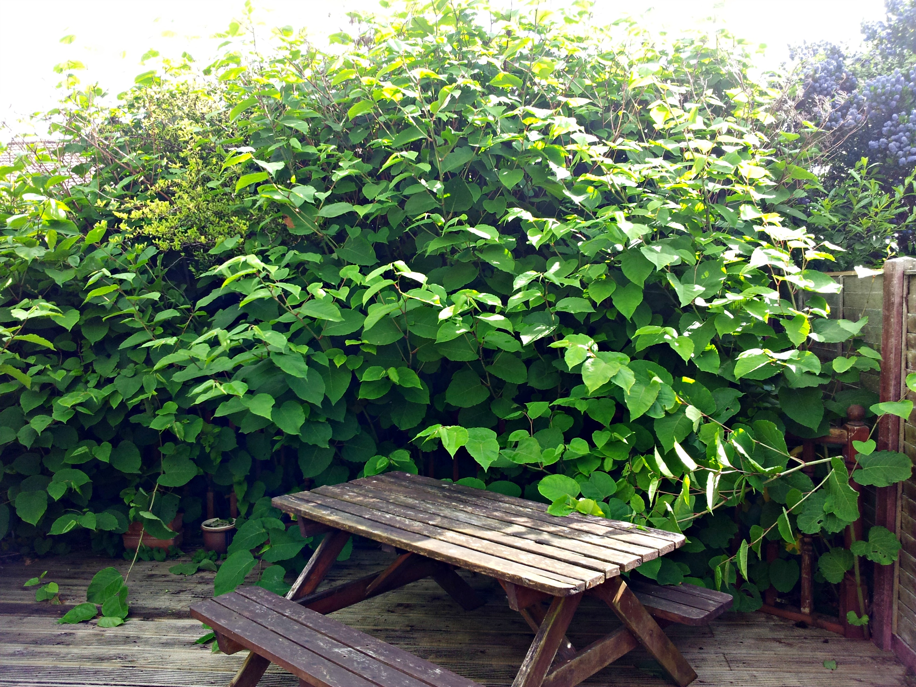 knotweed ecology and overwhelmingly lacking solution